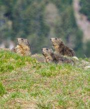 Marmottes 02