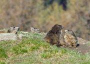 Marmottes 03
