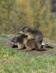 Marmottes 05