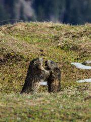 Marmottes 11